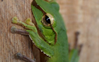 green tree-frog on some wood