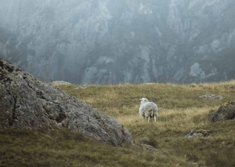sheep on a rocky hillside